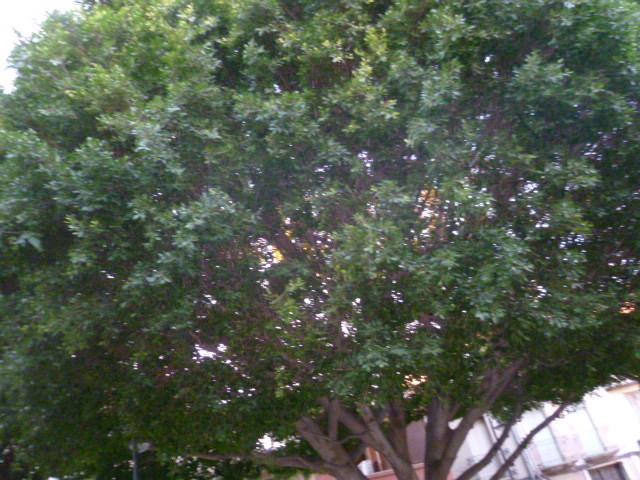 Ficus benjamina 1-p10996