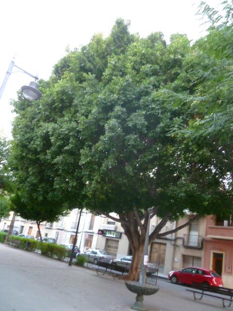Ficus benjamina 1-p10997