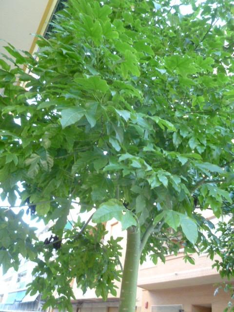 Ficus benjamina 1-p10998