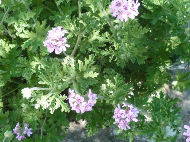 Pelargonium sp. (non crispum) 1-p11016