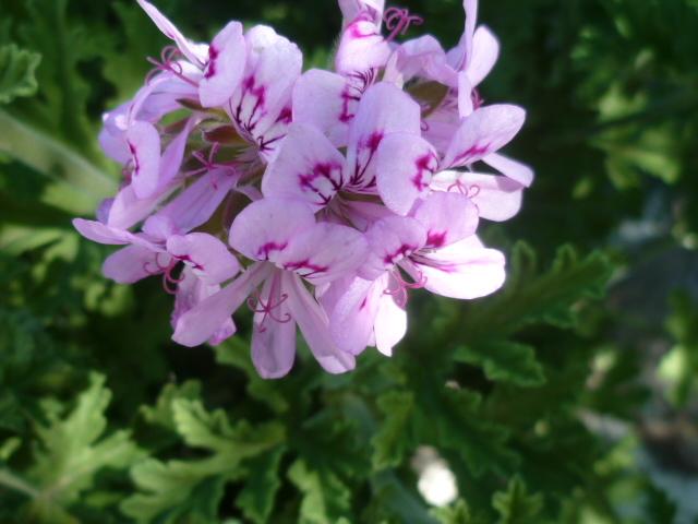 Pelargonium sp. (non crispum) 1-p11017