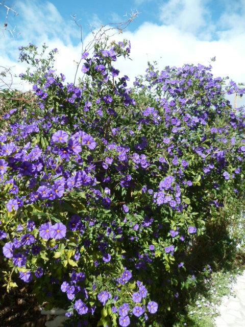 Solanum rantonnetii - Page 2 1-p11018