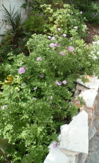Pelargonium sp. (non crispum) 1-p11020