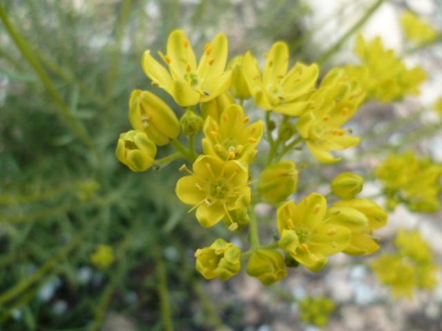 Espagne - flore de la région d'Alicante - Page 2 1-p11021