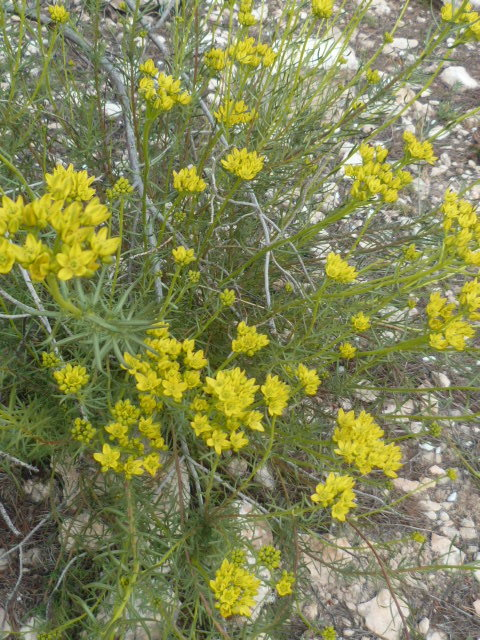 Espagne - flore de la région d'Alicante - Page 2 1-p11022