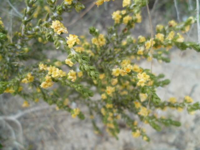 Espagne - flore de la région d'Alicante - Page 2 1-p11024