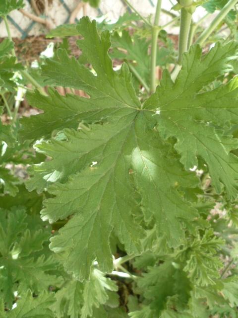Pelargonium sp. (non crispum) 1-p11028