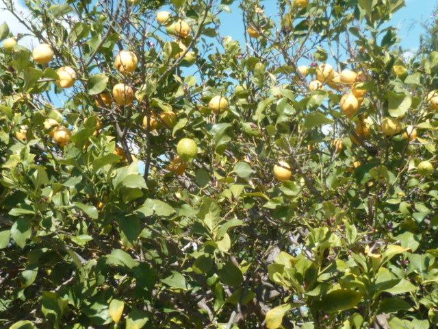 Citrus limon - citronnier des quatre saisons - Page 3 1-p11030