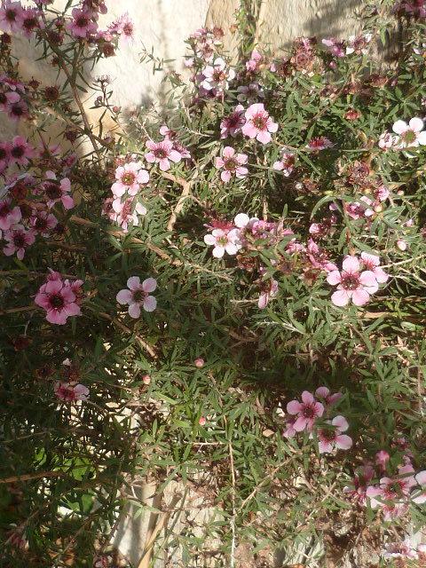 Leptospermum scoparium - arbre à thé rose 1-p11038
