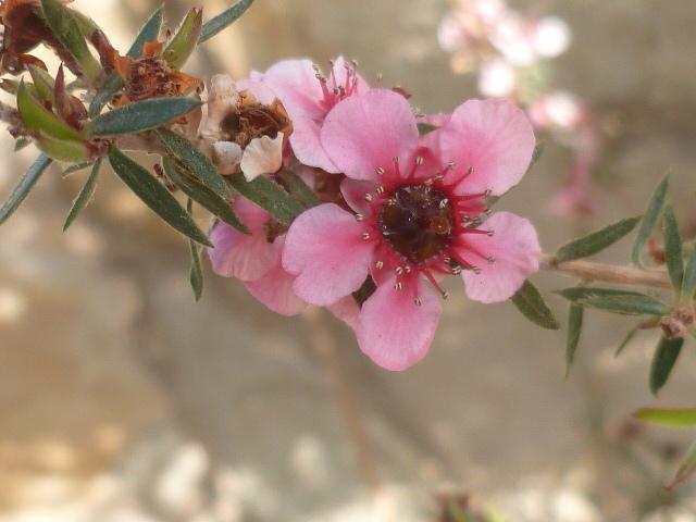Leptospermum scoparium - arbre à thé rose 1-p11039