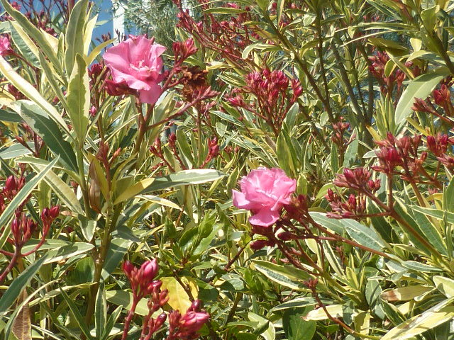 Nerium oleander - laurier rose - Page 3 1-p11049