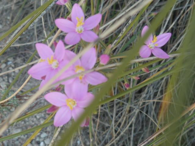 Espagne - flore de la région d'Alicante - Page 2 1-p11052
