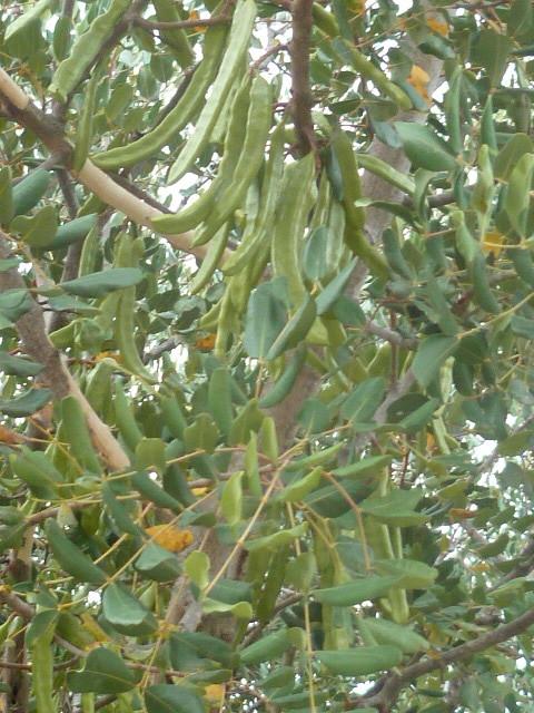 Ceratonia siliqua - caroubier - Page 2 1-p11061