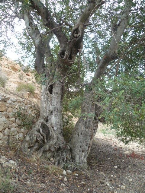 Ceratonia siliqua - caroubier - Page 2 1-p11062