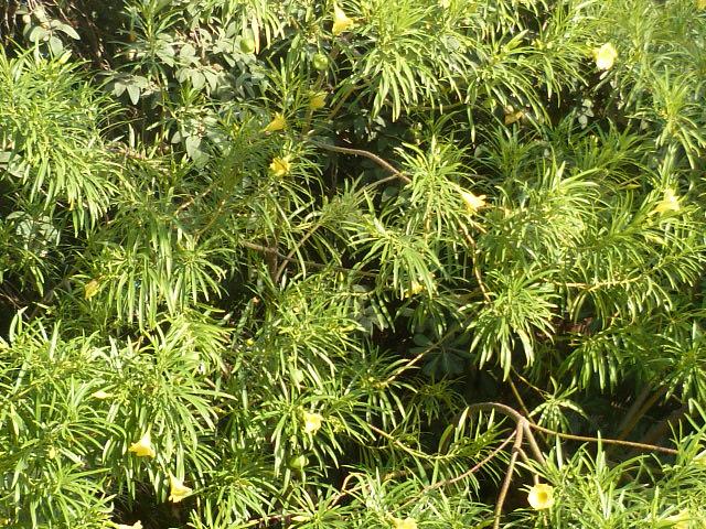 Cascabela thevetia (= Thevetia peruviana) P1090010