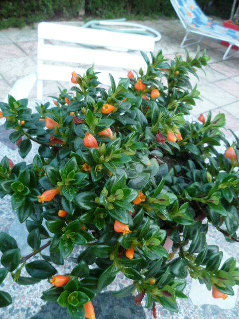 Nematanthus strigillosus (= Hypocyrta glabra) - plante poisson rouge P1090914