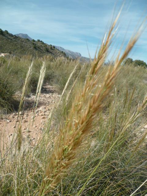 Espagne - flore de la région d'Alicante P1090920
