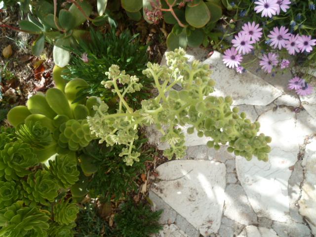 Aeonium canariense (probable) [identification à confirmer] P1100018