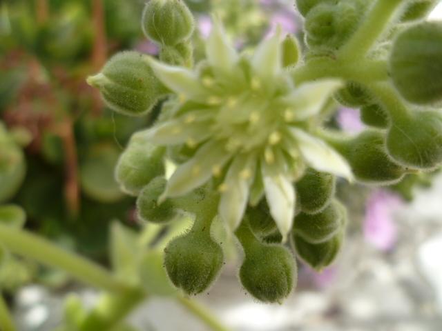 Aeonium canariense (probable) [identification à confirmer] P1100020
