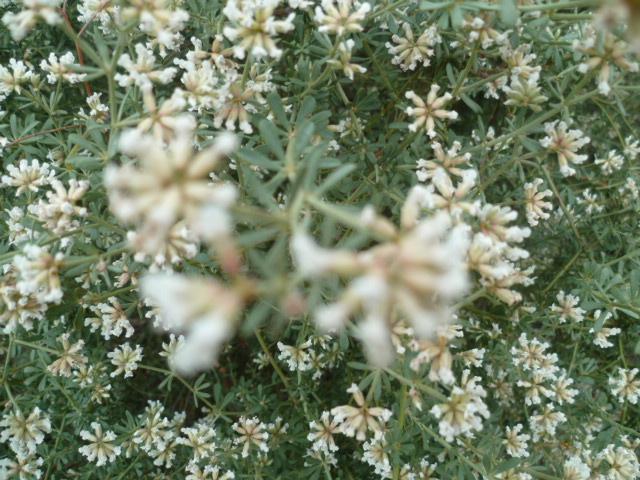 Espagne - flore de la région d'Alicante - Page 2 P1100025