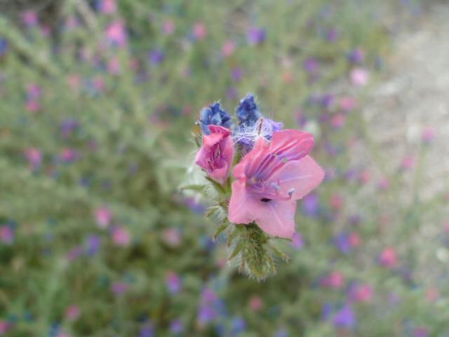 Espagne - flore de la région d'Alicante - Page 2 P1100111