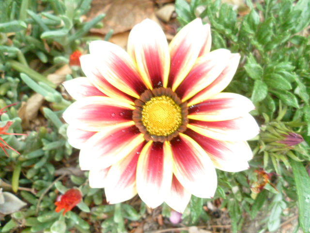 Gazania - espèces et cultivars P1100118