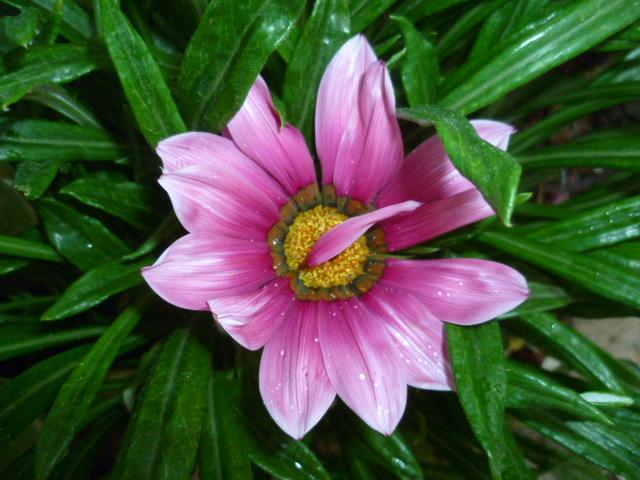 Gazania - espèces et cultivars P1100119