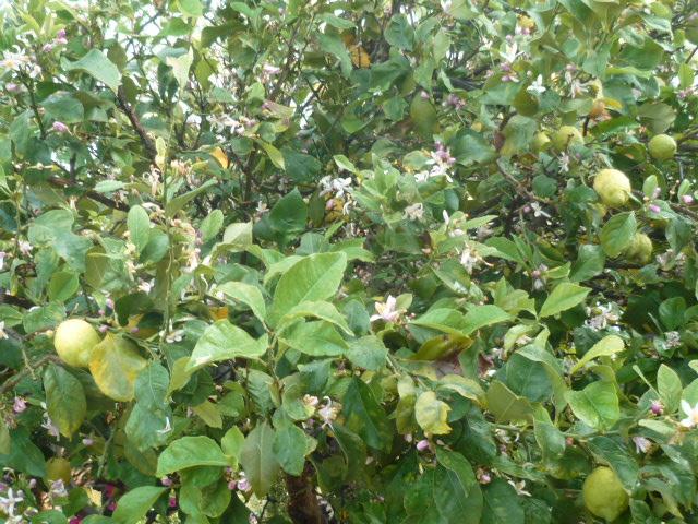 Citrus limon - citronnier des quatre saisons - Page 3 P1100133