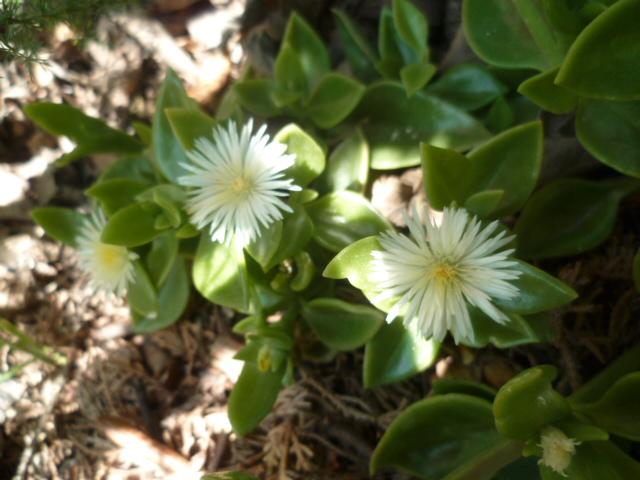 Aptenia cordifolia = Mesembryanthemum cordifolium P1100239