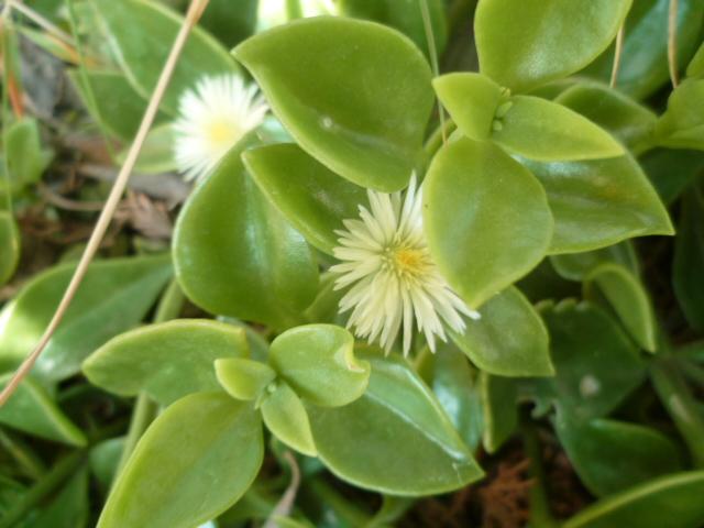 Aptenia cordifolia = Mesembryanthemum cordifolium P1100240