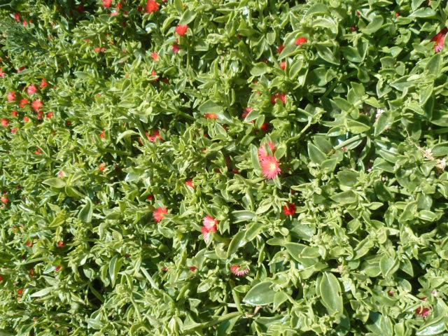 Aptenia cordifolia = Mesembryanthemum cordifolium P1100241