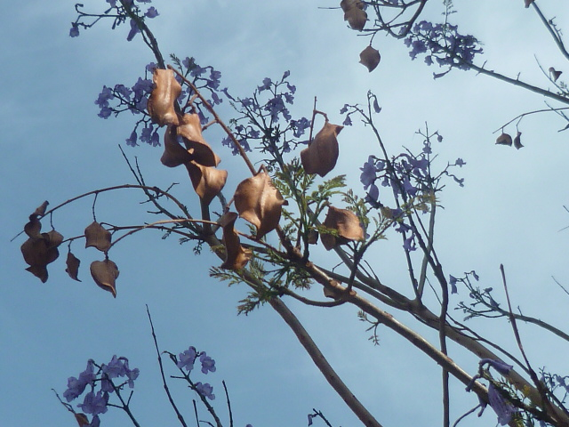 Jacaranda mimosifolia - Page 3 P1100321