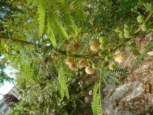 Leucaena leucocephala [Identification] P1100326