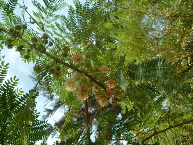 Leucaena leucocephala [Identification] P1100327