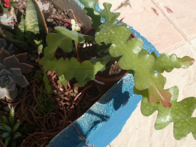 Epiphyllum anguliger [Identification] P1100349