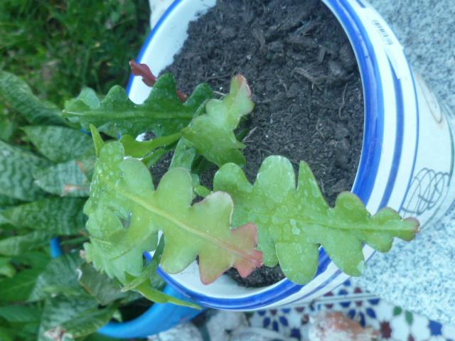 Epiphyllum anguliger [Identification] P1100413