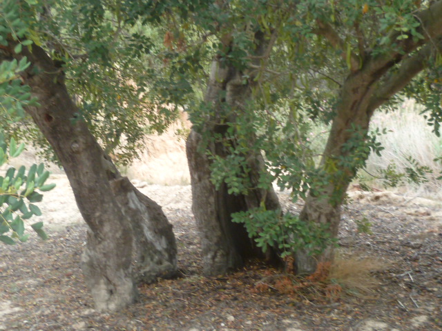 Ceratonia siliqua - caroubier - Page 2 P1100415