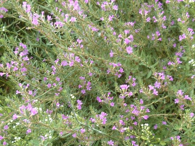 Espagne - flore de la région d'Alicante - Page 2 P1100416