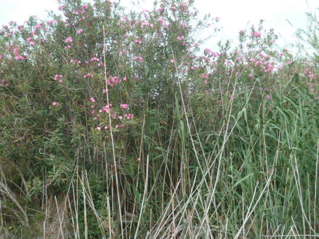 Espagne - flore de la région d'Alicante - Page 2 P1100419
