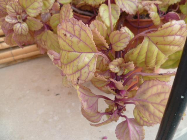 Plectranthus verticillatus P1110216
