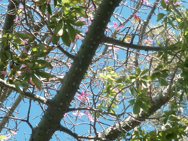 Ceiba speciosa (= Chorisia speciosa) - Page 3 P1110221
