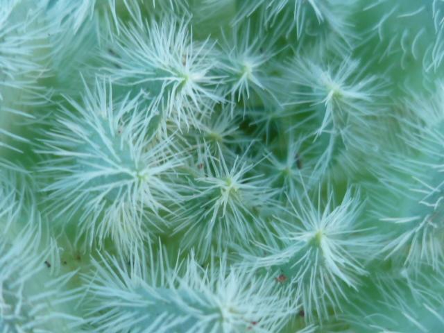 Echeveria setosa P1110243