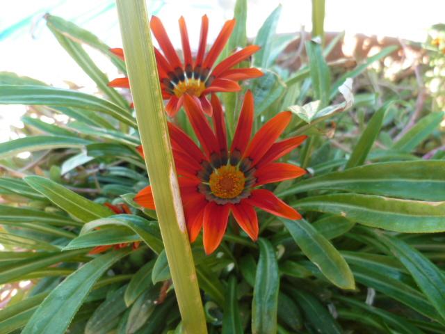 Gazania - espèces et cultivars P1110246