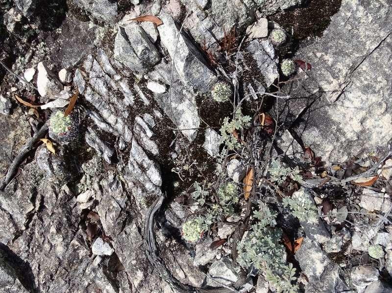 Ortegocactus macdougallii 00410