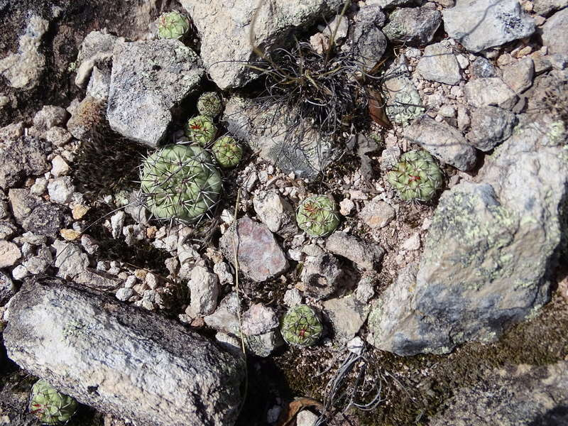 Ortegocactus macdougallii 00611