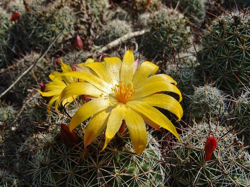 Mammillaria beneckei Dsc07512