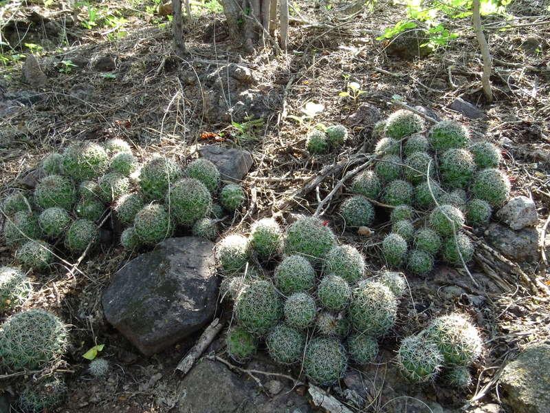 Mammillaria beneckei Dsc07513