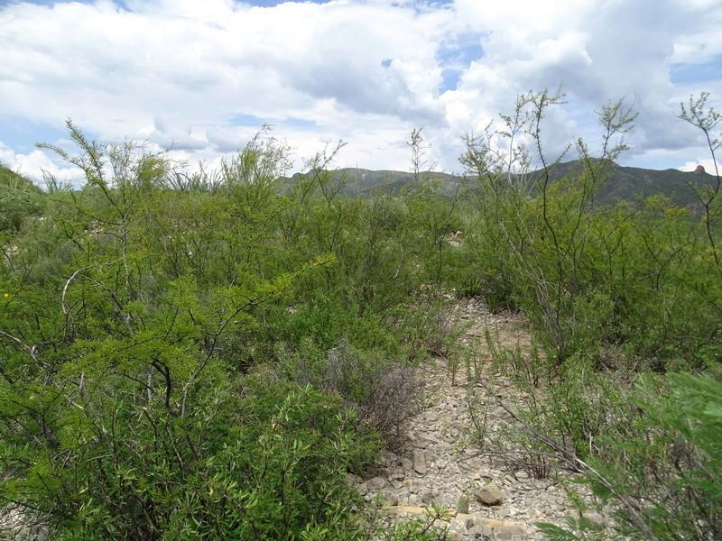 Ariocarpus intermedius Dsc08917