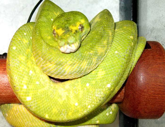 Morelia viridis biak Appare53