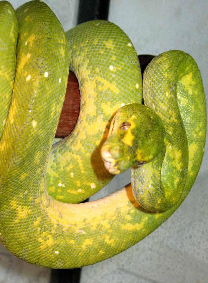 Morelia viridis biak Appare55